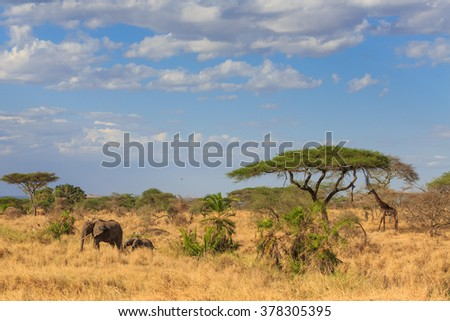 An Elephant and Giraffe under acacia tree in the African savannah  - Safari in Kenya and Tanzania - stock photo