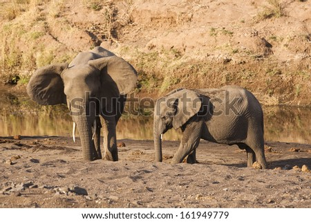 An elephant and her calf digging for water in a dry river bed