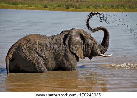 An elephant bathes in a water hole in a game reserve in South Africa. - stock photo
