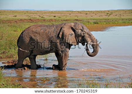 An elephant bull drinks at a water hole in a game reserve in South Africa. - stock photo