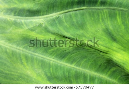 An Elephant Ear plant in abstract form. - stock photo