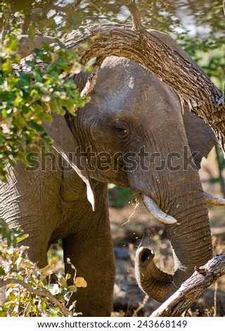 An elephant enjoys some foliage behind a tree - stock photo