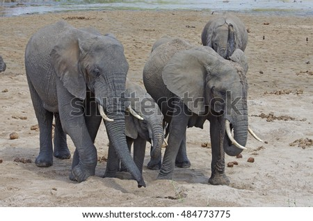 An elephant family, adult and baby, drink in a hole of water in Africa