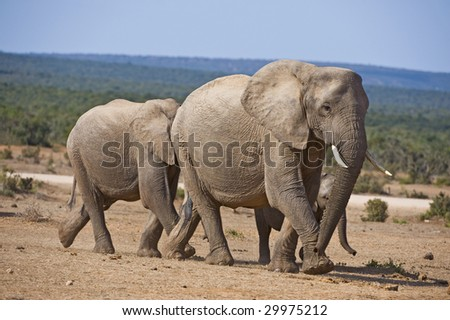 An elephant family rushes to the water in the heat of Summer