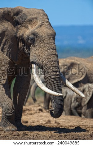 An Elephant in Addo Elephant National Park with famous Elephant Tusks - stock photo