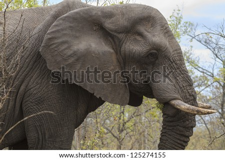 An elephant in profile taken in it's natural environment. - stock photo