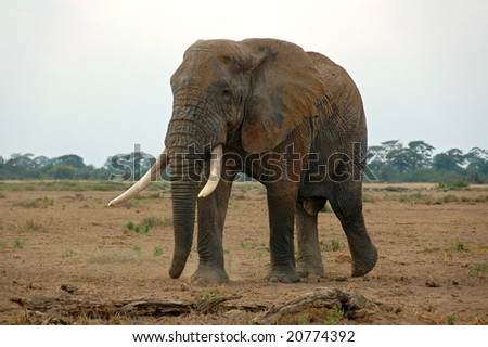 An elephant in the African savannah, Amboseli National Park, Kenya