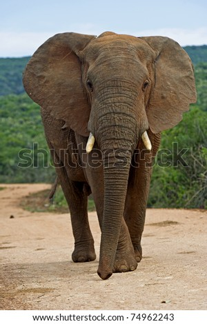 An Elephant in the Hot African son - stock photo
