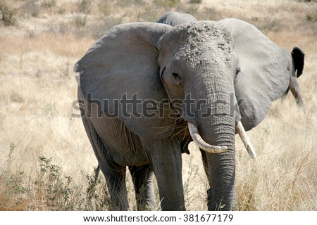 An elephant in the Tanzanian savannah in Africa