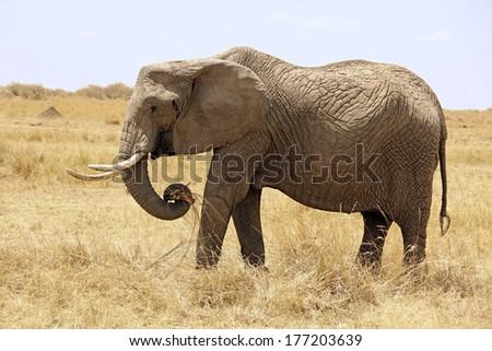 An Elephant (Loxodonta) on the Maasai Mara National Reserve safari in southwestern Kenya. - stock photo