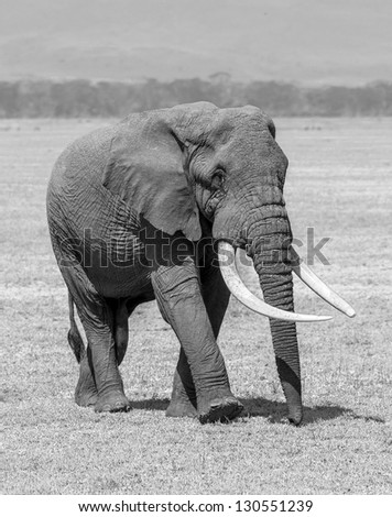 An elephant male in Crater Ngorongoro National Park - Tanzania, Eastern Africa (black and white) - stock photo