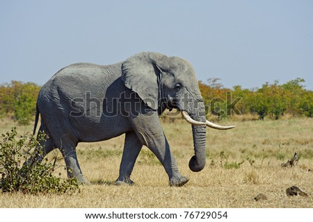An Elephant on his way to have a drink - stock photo