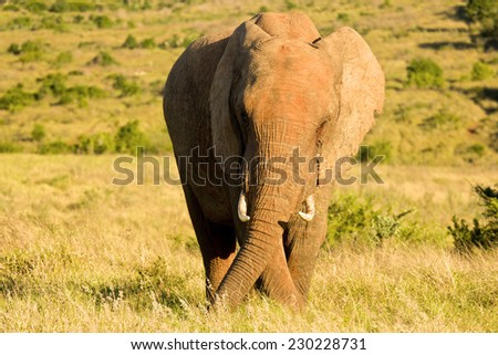an elephant standing and eating in long grass