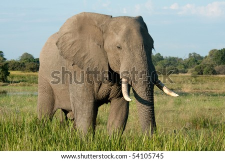 An elephant stands in some long green grass in the Okavango Delta, Botswana.