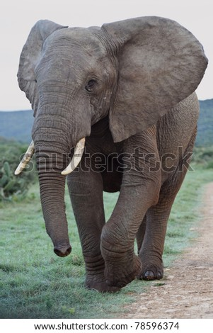 An Elephant towers over the photographer - stock photo