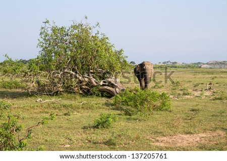 An elephant walking in yala national park sri lanka