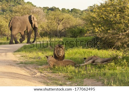 An Elephant walks behind the pride of Lions it had just disturbed in Kruger National Park, South Africa. - stock photo