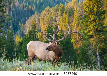 An elk poses on the side of a hill - stock photo