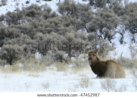 An elk rests in the snow in Yellowstone National Park. - stock photo