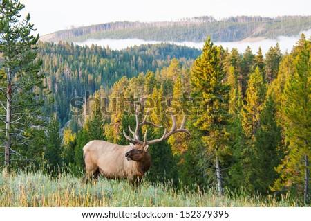 An elk walks along a hillside on a foggy morning - stock photo