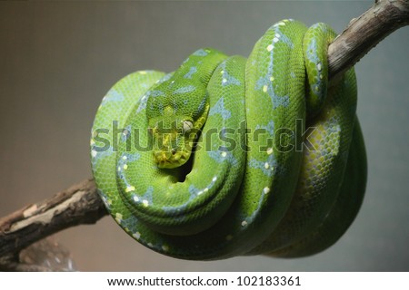 An emerald tree boa (Corallus caninus) curled up on a branch with its head clearly visible. - stock photo