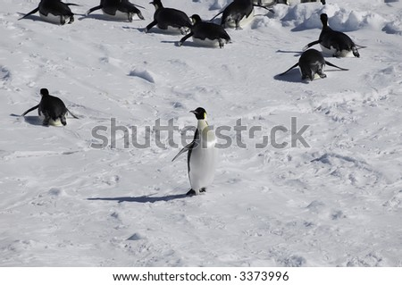 An emperor penguin standing out from the crowd in the background. Picture was taken in the Atka Bay during a 3-month Antarctic research expedition. - stock photo