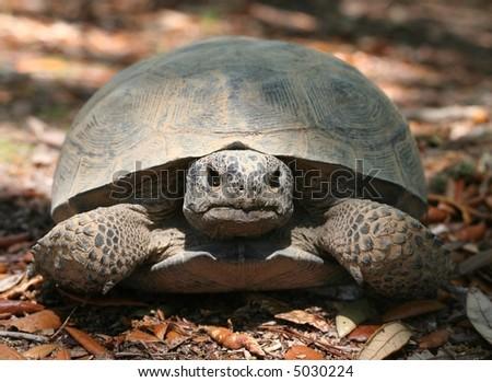 An endagered Gopher Tortoise, Gopherus polyphemus. - stock photo