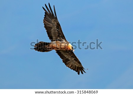 An endangered bearded vulture (Gypaetus barbatus) in flight, South Africa - stock photo