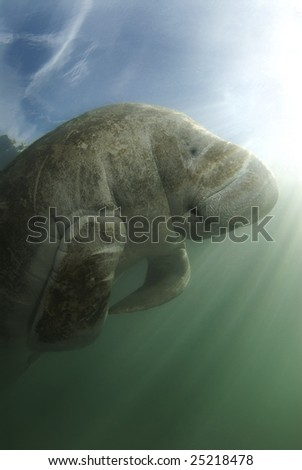 An endangered Florida manatee (Trichechus manatus latirostrus) from below in the springs of Crystal River, Florida - stock photo