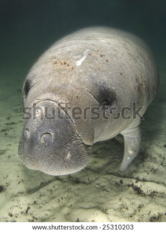An endangered Florida manatee (Trichechus manatus latirostrus) rests underwater in the springs of Crystal River, Florida - stock photo