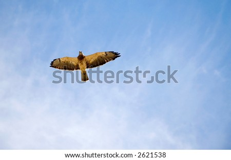 An endangered Peregrine Falcon - or Prairie Falcon - flying high over head. - stock photo