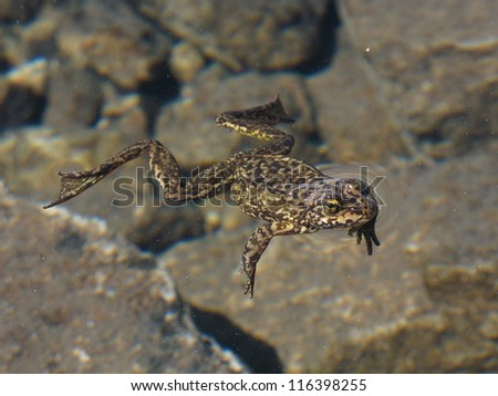 An endangered Sierra Nevada Yellow-legged frog in the Sierra Nevada Mountains. - stock photo