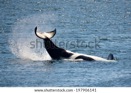 An endangered Southern Resident Killer Whale does an inverted tail slap in Haro Strait near San Juan Island, Washington.