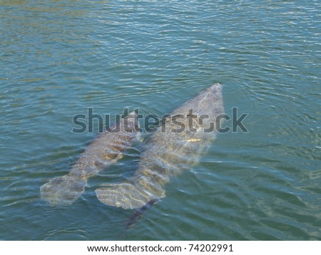 An endangered West Indian manatee mother and her young in Crystal River, Florida, show scars from boat propellers. The mother is trailing algae. - stock photo