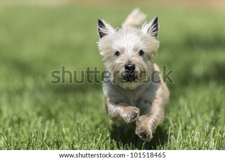 An energetic dog running towards the camera in beautiful grass - stock photo