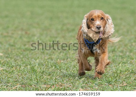 An english brown cocker spaniel running to you in grass background