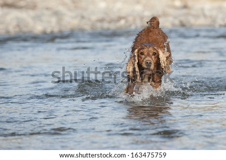 An english brown cocker spaniel running to you in the river water background