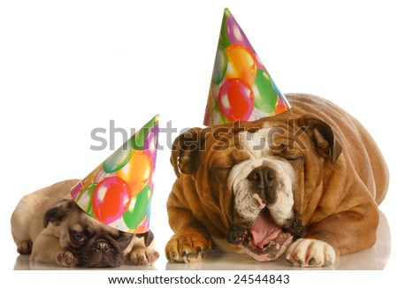 an english bulldog and a pug wearing birthday hats complaining about the situation - stock photo