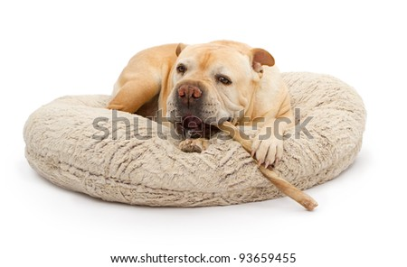 An English Bulldog laying on a bed and chewing on a bully stick with spit on his mouth - stock photo
