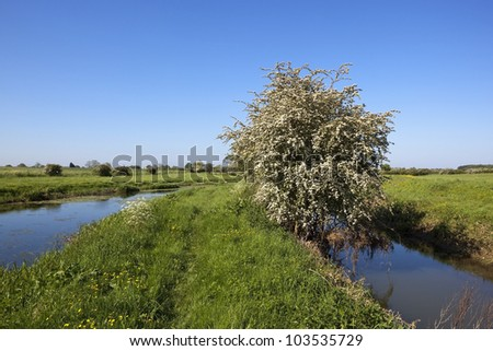 an english landscape with a flower covered hawthorn tree growing between a canal and a small river in lush water meadows under a clear blue summer sky