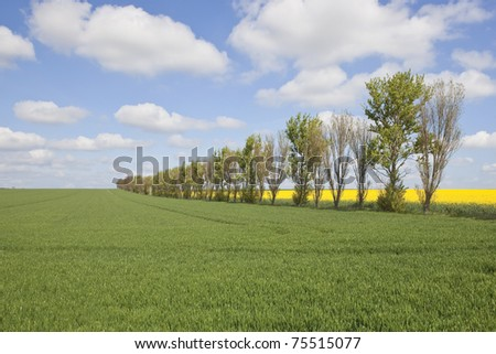 an english landscape with an row of poplar trees in farmland under a blue cloudy sky in springtime