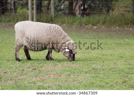An English Leicester sheep, grazing in the field.