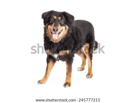 An English Shepherd Mixed Breed Dog standing with mouth open while looking into the camera. - stock photo