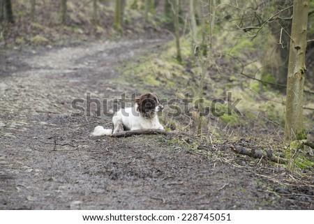An English springer spaniel laying down on a walk - stock photo