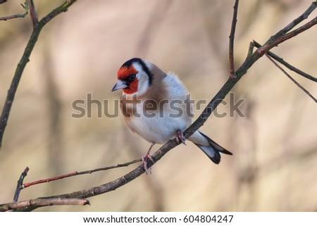stock-photo-an-european-goldfinch-on-a-b