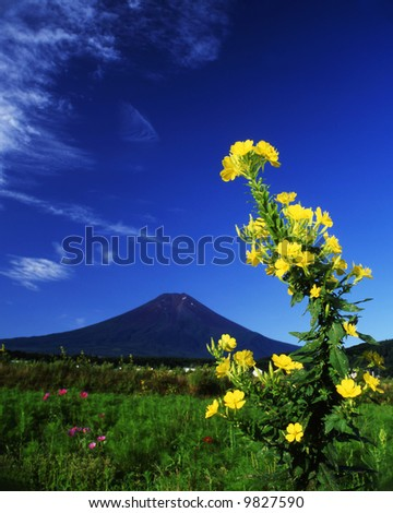 An evening primrose flower bloom with Mt,Fuji - stock photo
