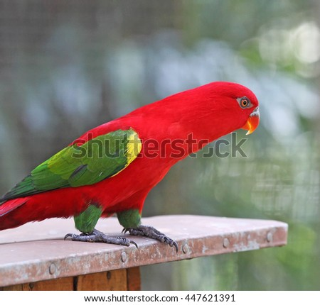 An exotic red parakeet.  - stock photo