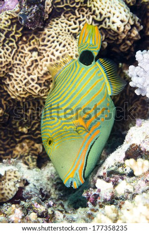 An exotic, tropical range lined triggerfish feeds vertically on a coral reef in Fiji - stock photo