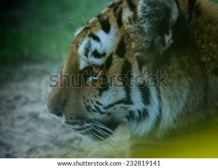 An extreme close up of an Indian tiger in an reserved animal park - stock photo
