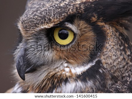 An extreme close-up of the face of a Great Horned Owl (Bubo virginianus)  - stock photo